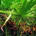 Saw Palmetto Berries