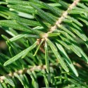 Balsam Fir Oil