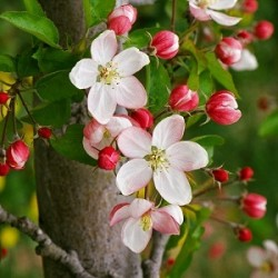 Apple Blossom Incense