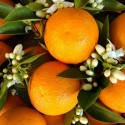 Orange Blossom Oil