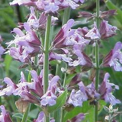 Sage Incense
