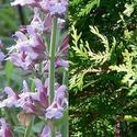 Sage & Cedar Incense