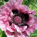 Black Opium Oil