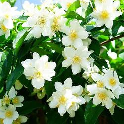 Jasmine Dried Ritual Herb
