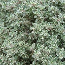 Thyme Dried Ritual Herb