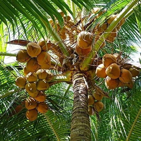 Coconut Incense